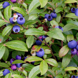 Berry Good Blueberries