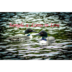 Loons in Love
